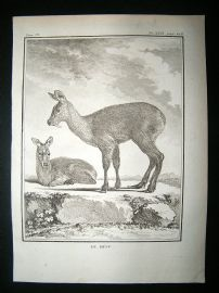 Buffon: C1770 Musk Deer, Antique Print